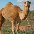 camel with needle
