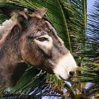Donkey and palm
