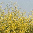 Israeli mustard plant